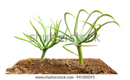 The Stone Pine (Pinus pinea - young seedling) has been cultivated extensively for at least 6,000 years for the edible pine nuts. - stock photo