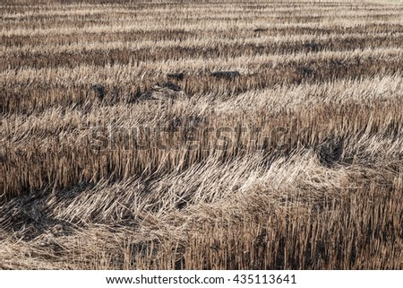 The straw field burn after harvesting. - stock photo