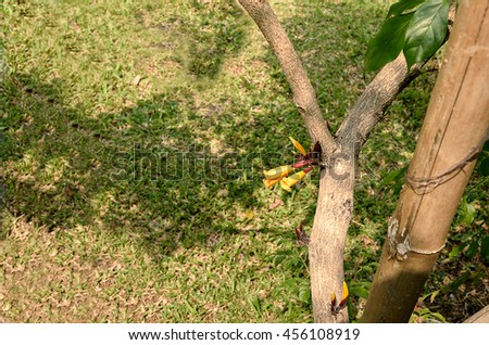 The striking orange - colored flowers of tree jasmine that grow straight from the trunk. - stock photo