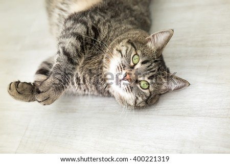 The striped cat with green eyes lies on a back and looks in a camera - stock photo