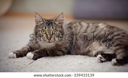 The striped domestic cat with yellow eyes lies.
