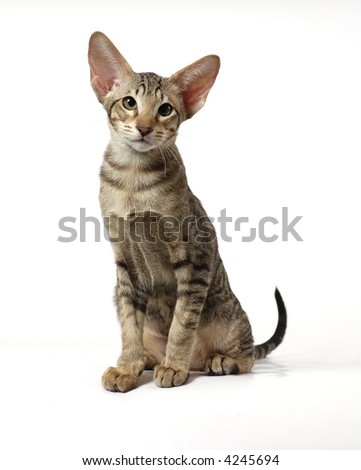 The striped kitten of breed of Oriental - stock photo