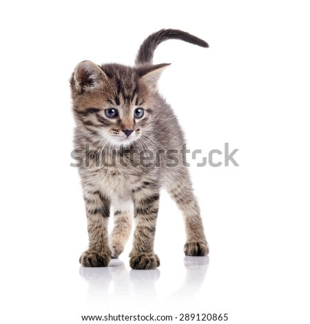 The striped lovely kitten costs on a white background. - stock photo