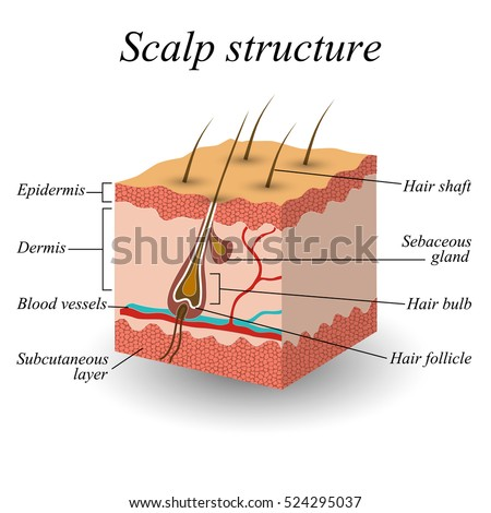 structure hair scalp anatomical training poster stock ... diagram of parts of the foot diagram of scalping products