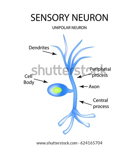 Neuron sensory diagram application wiring diagram structure sensory neuron infographics illustration on stock rh shutterstock com sensory neuron labelled diagram simple sensory ccuart Gallery