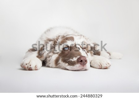 The studio portrait of the puppy of Australian Shepherd lying on the white background, blinking and falling asleep