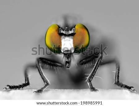 The stunning eyes of a Eudioctria albius Robber Fly. This is a black and white image with only the eyes in color. - stock photo