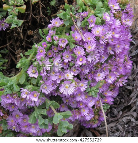 The Succulent Aptenia cordifolia (Heart Leaf Ice Plant) Growing on the Island of Tresco in the Isles of Scilly, England, UK - stock photo