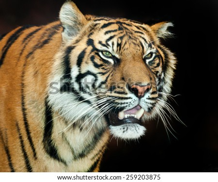 The Sumatran tiger inhabits the Indonesian island of Sumatra. It was classified as critically endangered by IUCN in 2008 as the population is projected to be 441 to 679 ... Wikipedia - stock photo