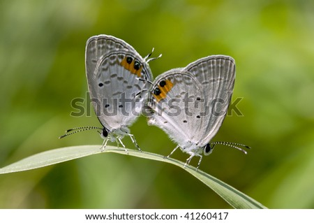 The Summer Azure Butterfly - stock photo