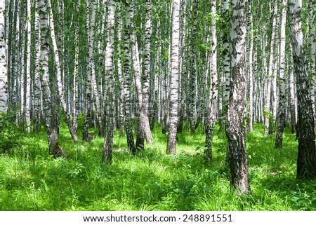 the summer landscape with the birches forest  - stock photo