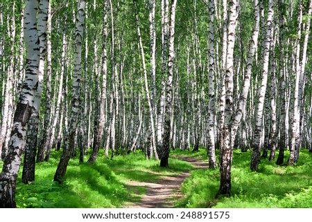 the summer landscape with the birches forest