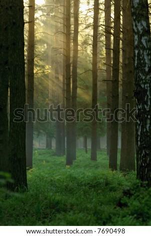 The sun beams streaming through trees. - stock photo