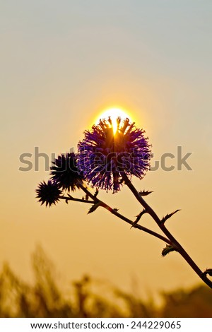 The sun breaks through the prickly flower petals at sunset - stock photo