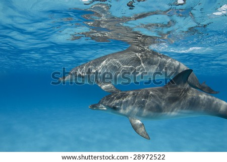 The sun casts ripples from the surface onto an pair of Atlantic Spotted Dolphin (Stenella frontalis) in crystal clear Bahamian waters - stock photo
