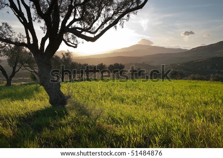 the sun is going down between the branches of an olive grove - stock photo