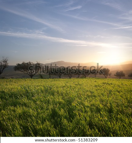 the sun is setting on a field of grass and row of olive trees - stock photo