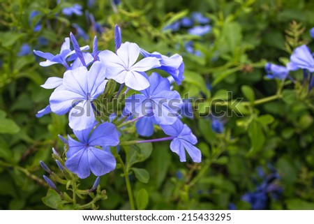The sun is shining plumbago flower (leadworth flower). - stock photo