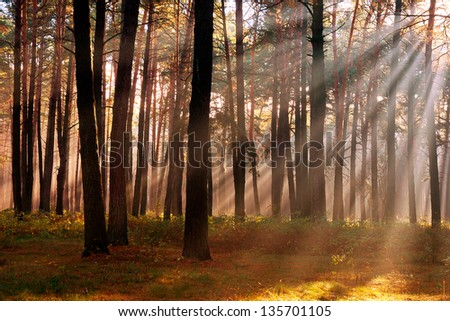 The sun's rays breaking through the trees in the pine forest in autumn season - stock photo