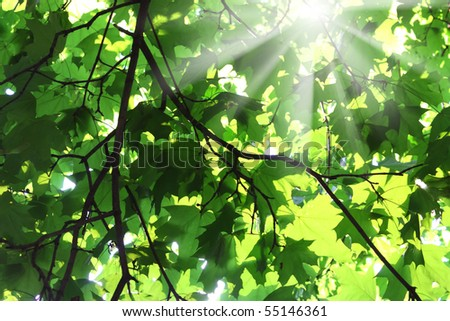 the sun's rays make their way through the young green leaves - stock photo