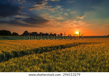 The sun sets over a green and gold, flowing crop of wheat or barley on a farm on a hill in England. The thin clouds are illuminated by the sun in red, orange, gold - stock photo