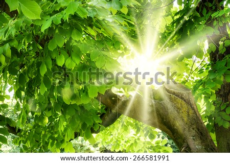 The sun shining beautifully through green foliage of an old tree - stock photo