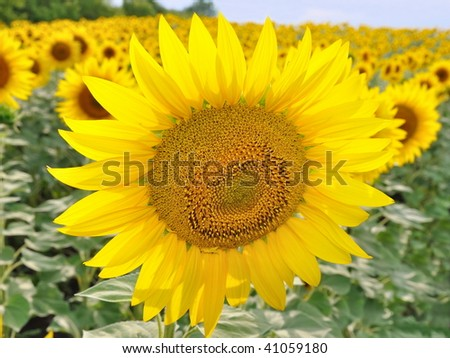 The sunflower grows on the field - stock photo