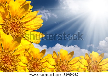 the sunflower with blue sky.