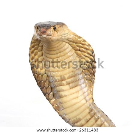 the suphan cobra ready to strike - stock photo