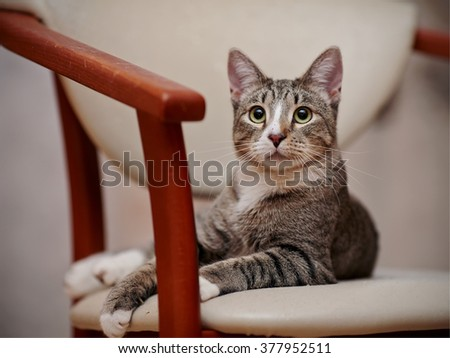 The surprised striped cat lies on a chair. - stock photo