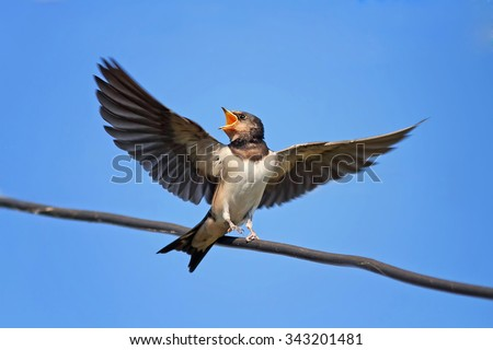 the swallow sits with an open beak with outstretched wings - stock photo