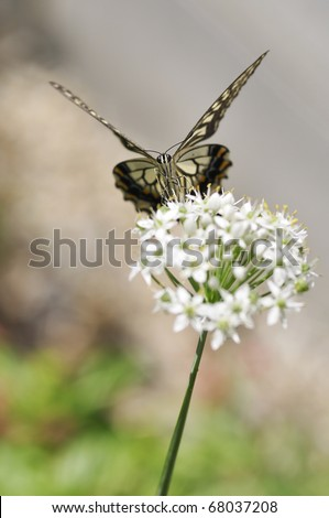 The swallowtail butterfly in Japan. - stock photo