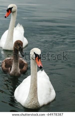 The Swan Family - stock photo