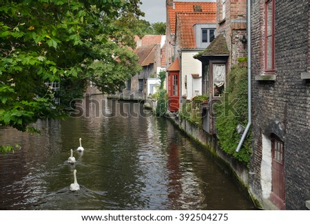 The swans in Bruges canal