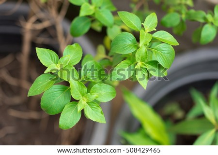The sweet basil seed