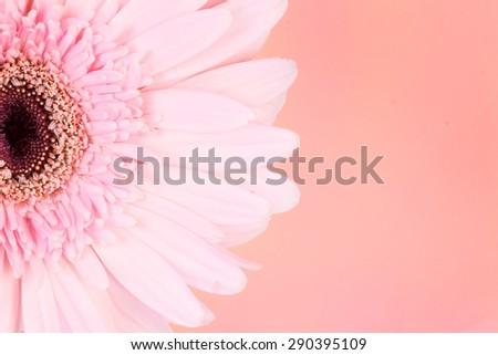the sweet pink  Gerbera flower, romantic moment - stock photo
