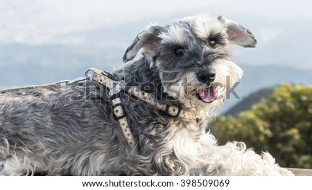 The Sweet Schnauzer dog with funny ears smiles with nice background color - stock photo