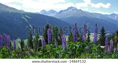 The Swiss Alps in summer with blooming lupines in the foreground. Picture taken above Davos, at about 1800 m. - stock photo