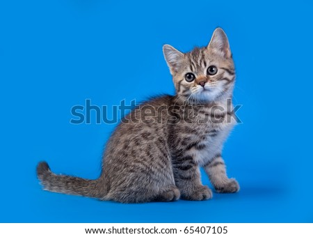 The tabby gray Cat  on blue background - stock photo