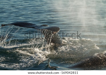 The tail of a Humpback Whale diving. Backlight emphasis all the splash and drops of water - stock photo