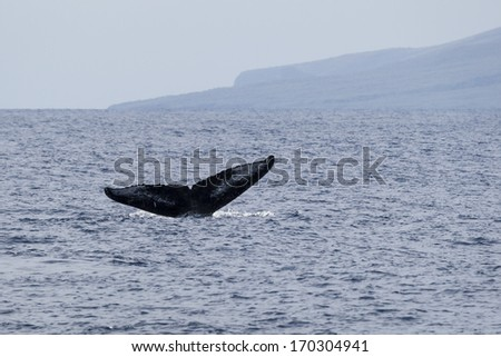 The tail of a humpback whale, Maui, North Pacific Ocean - stock photo