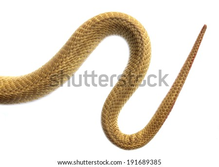 The tail of a snake on a white background. - stock photo