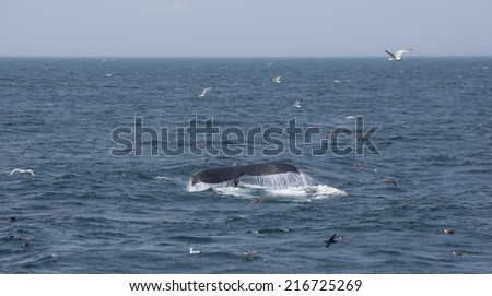 The tail of Humpback Whale in Cape Cod, USA - stock photo