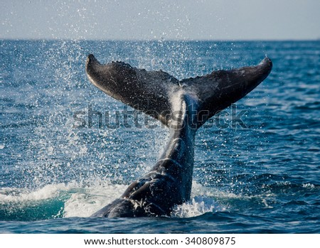 The tail of the humpback whale. Madagascar. St. Mary's Island. An excellent illustration.