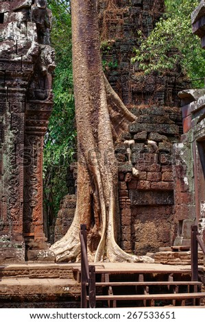 The tall  fig tree sprouted through walls in Angkor temple, Cambodia - stock photo