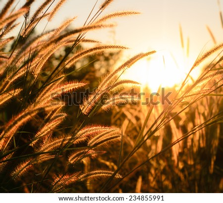The tall grass in the rays of the rising sun - stock photo
