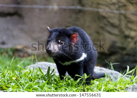 the Tasmanian devil, a native to tasmania, an island off australia - stock photo