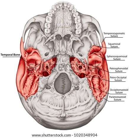Temporal Bone Cranium Head Skull Individual Stock Illustration