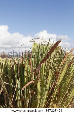 The texture and design of a lemongrass plant that was recently trimmed against the blue sky