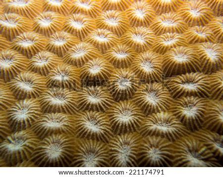 The Texture of a hard coral, looking like a small flowers. Micronesia, Yap, Pacific ocean.